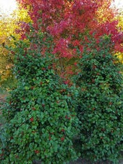 Two female Ilex opaca (American Holly) in the foreground