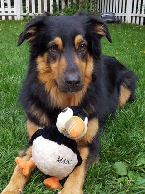 Handsome Jack, an English shepherd/collie rescue who lives in Springettsbury Township, has a lifetime dog license registration in York County.