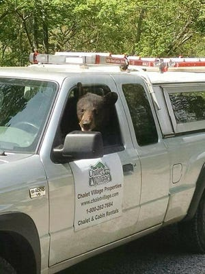 A bear sits in the driver's seat of a truck owned by Chalet Village Properties on Thursday, May 3.