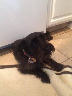 Sambuca, a 1 1/2 -year-old miniature schnauzer, was rescued from a dishwasher by Tinton Falls first responders.