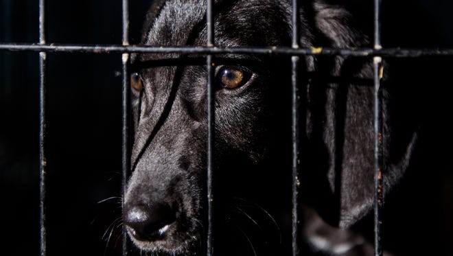 An adoptable puppy sits in a crate at It Takes A Village, a no-kill canine rescue shelter. The private non-profit shelter opened in 2010 and uses donations to find dogs and other animals permanent homes.