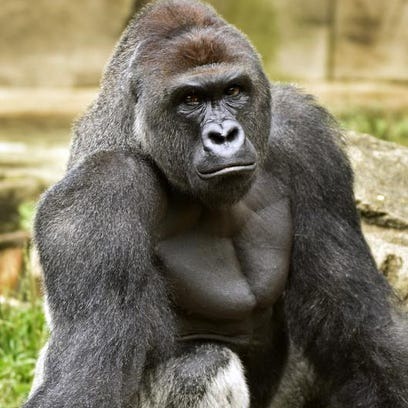 Kweli, a female gorilla, eats a leaf of lettuce at one of Louisville Zoo's 2 outdoor exhibits.