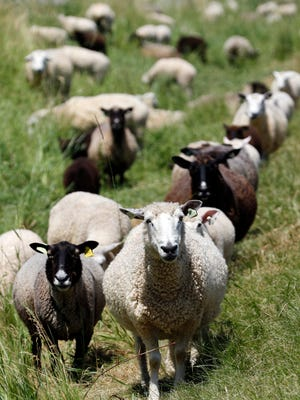 Carol and Paul Wagner have raised their sheep with the intensive rotational grazing method on the Hidden Valley Farm & Woolen Mill since 1985. The Wagners' farm has a heard of about 400 Coopworth sheep. Photo taken Wednesday, June 29.