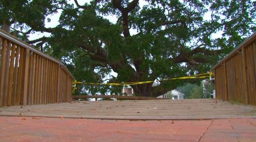 School forced to chop down 800-year-old tree