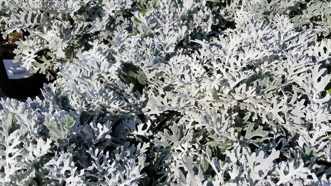 Dusty milleris are good for creating designs in your garden.