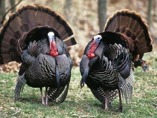 636190317892768271-TurkeyHunt.jpg