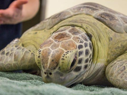 Wow the green sea turtle