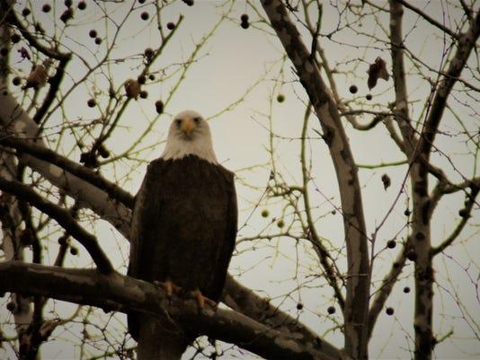 636201606270682478-thumbnail-eaglebeagle3.jpg