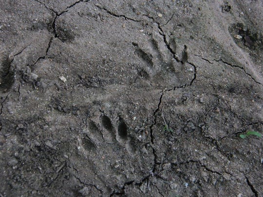 Raccoon prints on the edge of the Niangua River attest