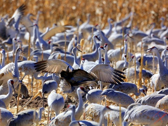 The new arrivals soon are lost in a gaggle of very noisy sandhill cranes.
