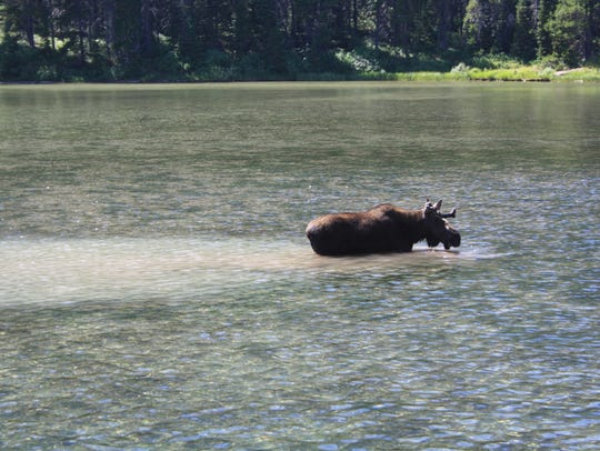 A moose takes a dip in Fishercap Lake in Glacier National