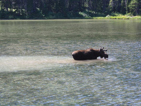A moose takes a dip in Fishercap Lake in Glacier National