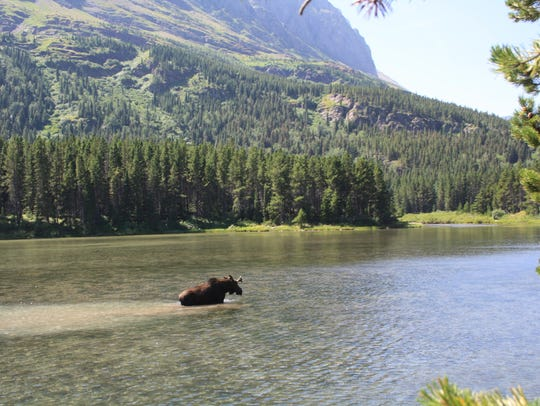 A moose wanders in Fishercap Lake in Glacier National