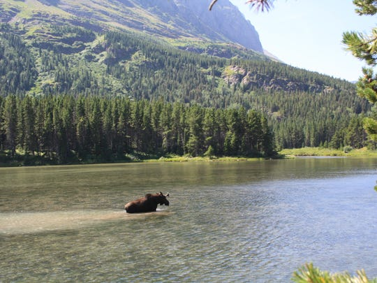 A moose wanders in Fishercap Lake in Glacier National Park.