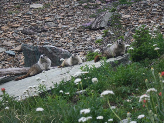 Marmots are a common site in Glacier National Park.