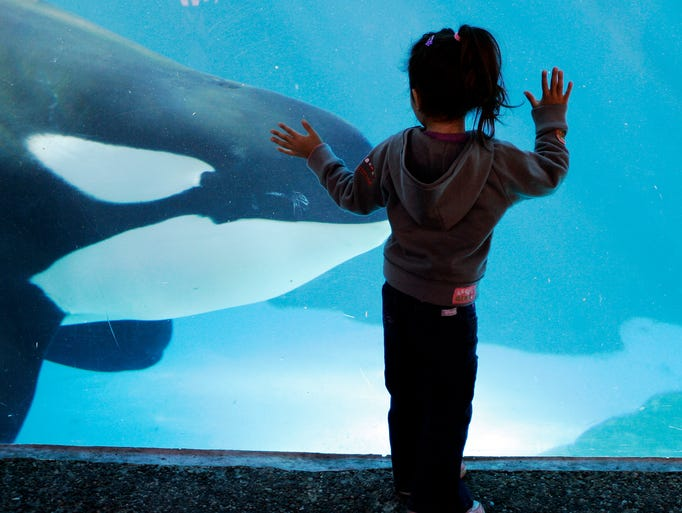 A young girl watches as a killer whale passes by at