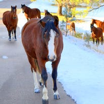 Alto horse herd close to pasture release