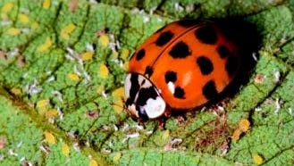 The multi-colored Asian lady beetle is abundant this year thanks in part to a large soybean crop, which has produced plenty of the beetle's primary food, soybean aphids.