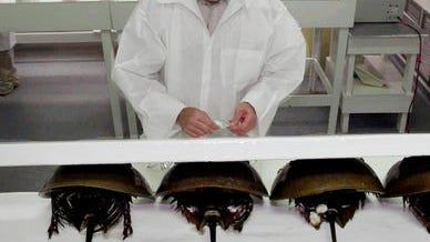 Horseshoe crabs being bled at a lab in Virginia in this file photo taken in 2000.