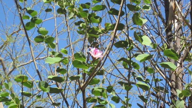 Dear Brian, I have this tree in my garden. For the last 3 years it shed its leaves about this time of year. They are an unusual shape It now has flowers for the first time .It is behaving like a magnolia tree. Can you help identify it from the photos? Credit: George Holywell.