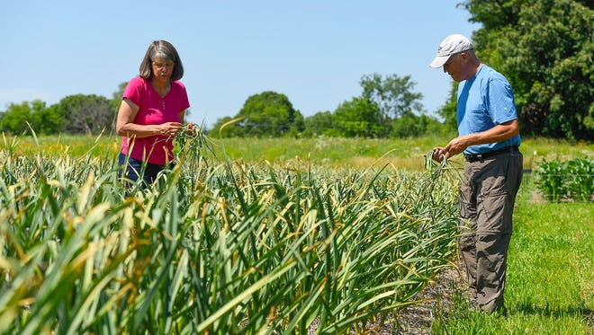Chris and Joanne Kudrna, Plum Creek Farm, harvest garlic scapes Wednesday, July 5, in Clearwater. The bud is removed in late June to encourage the bulbs to thicken. Harvest of the organic garlic bulbs will be later in the month.