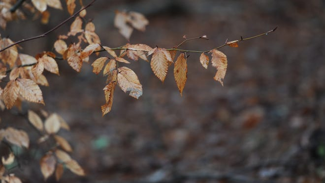 Golden leaves still hang from the branches of a tree in a wooded section of Harborton, Va. on Wednesday, Feb. 24, 2016.