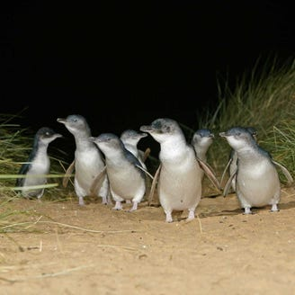 Amazing animal adventures: See the world's smallest penguins in New Zealand