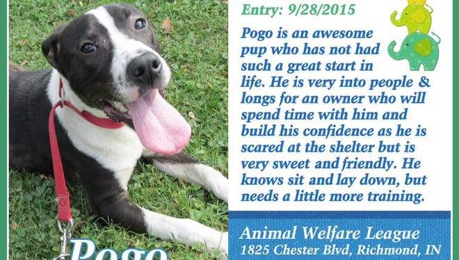 Pogo has been at the Animal Welfare League for several months. He's now about 9 to 10 months old.
