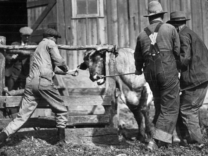 A bull belonging to Tipton-area farmer E.C. Mitchell is branded by Dr. P.A. Weires of West Union in 1931 to show that it is infected with bovine tuberculosis. Mitchell is shown in the jacket holding the rope.