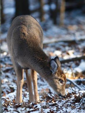 Binghamton University Home To Large Friendly Deer Population