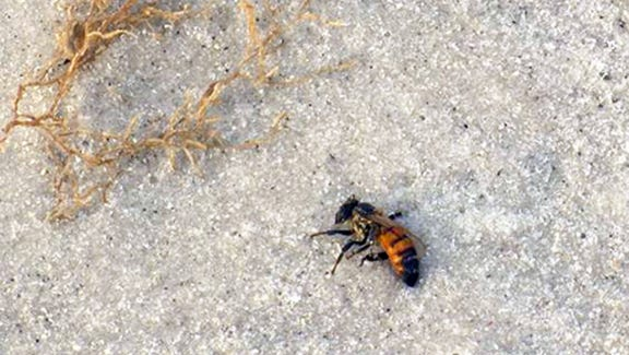 Thousands of dead bees are washing up on a popular Naples beach.
