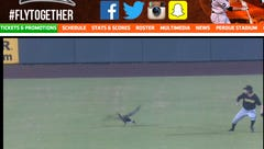 Goose on the loose! Goose delays Shorebirds game