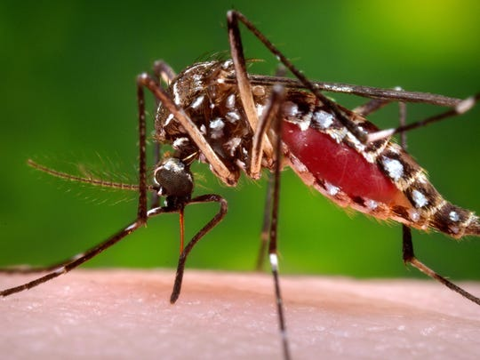 This photo provided by the Centers for Disease Control and Prevention shows a female Aedes aegypti mosquito in the process of acquiring a blood meal from a human host. The Aedes aegypti mosquito is behind the large outbreaks of Zika virus in Latin America and the Caribbean. On July 29 Florida said four Zika infections in the Miami area are likely the first caused by mosquito bites in the continental U.S. All previous U.S. cases have been linked to outbreak countries.