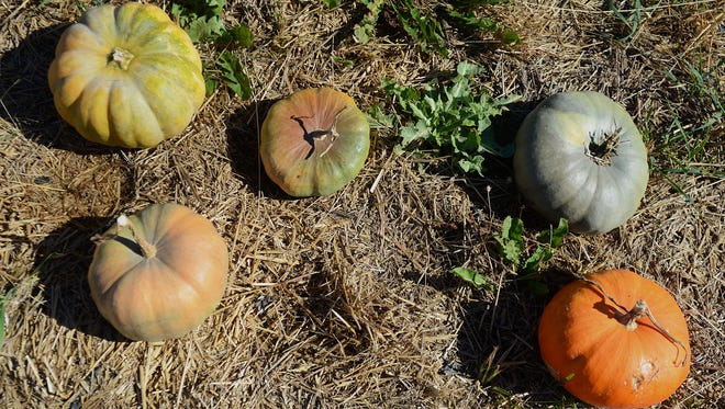 The Simpson Family Farm in Fort Gratiot has a variety of pumpkins for you-pick customers.