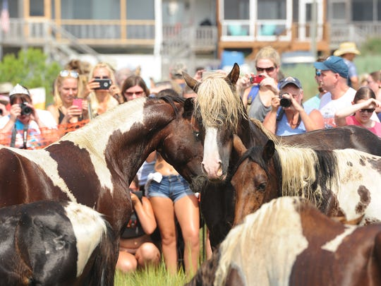 A Chincoteague Pony stallion, left, stares down another stallion known as Riptide after the Chincoteague Pony herd made the 91st annual Chincoteague Pony Swim on Wednesday, July 27, 2016.