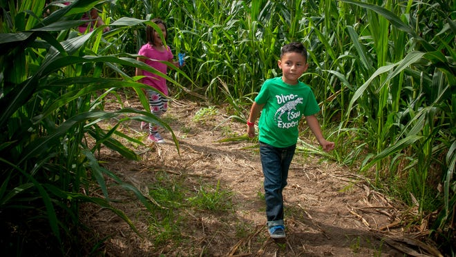 3-year-old Adrian Perea explores the corn maze at the Mesilla Valley Maze.