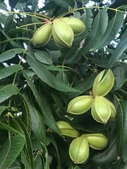 Some Abilene pecan trees are loaded this summer, but