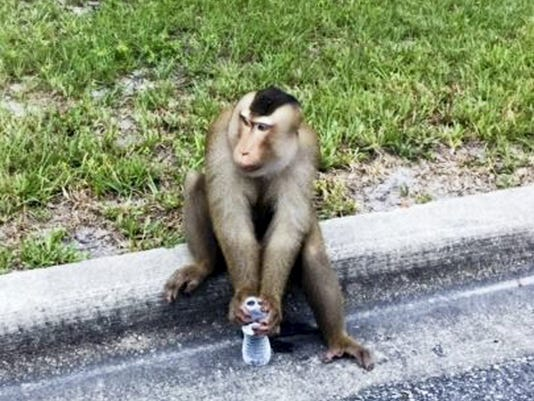 A monkey that escaped its owner's home sits on a curb drinking water that Sanford police officers offered it as a distraction after they responded to a call that a monkey was eating mail out of a maibox in Sanford, Fla., Monday, Sept. 28, 2015. The monkey named Zeek, was eventually caught when his owner returned home a short time later.  (Sanford Police Department via AP )