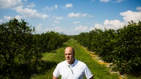 Southwest Florida growers aren't hurt by the cold weather, and it could even help citrus crops harmed by Hurricane Irma.