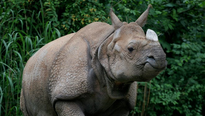 Nikki the rhino passed away Thursday morning at the Cincinnati Zoo & Botanical Garden.