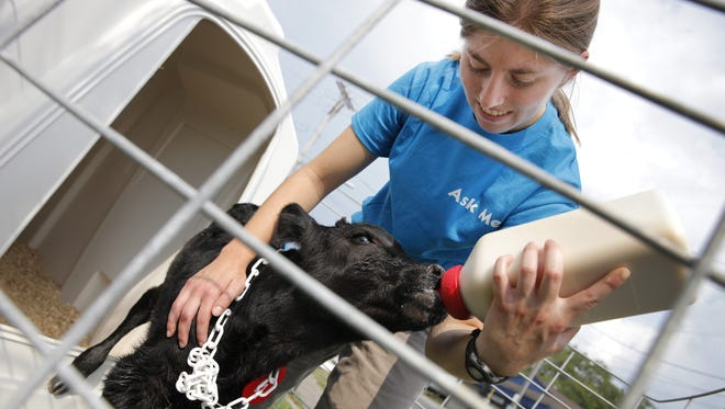 Cornell University veterinary student Nicole Irizarry of Ithaca gives a 90-minute-old Holstein-Jersey calf its first feeding after it was born in the Beef Cattle Barn on the opening day of the New York State Fair in 2013.