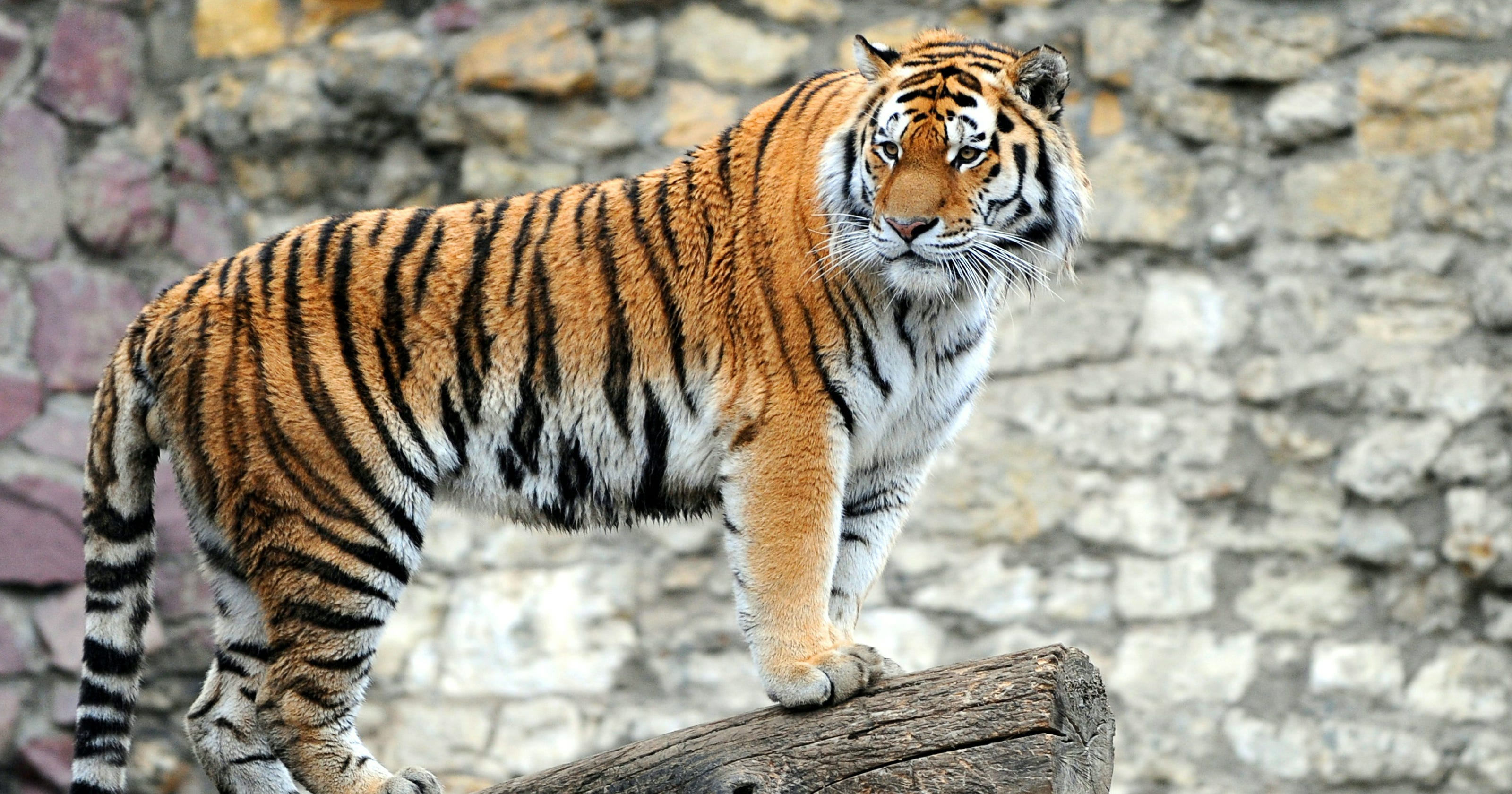Online Daters Display Prowess With Tiger Profile Pics