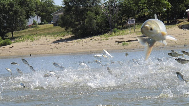 In this 2012 file photo, Asian carp jolted by an electric current from a research boat jump from the Illinois River near Havana, Illinois.