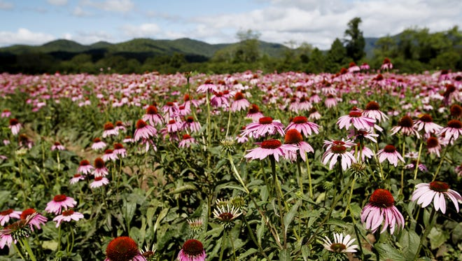 Echinacea grows at Gaia Herbs farm in Brevard in September.