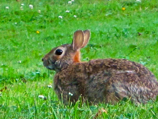 MNCO 1109 Dick Martin's column on cottontail rabbits.jpg