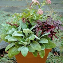 Mix perennials – in this case sedum, small grasses and lambs ear – with annuals in your fall container garden for different colors and textures.