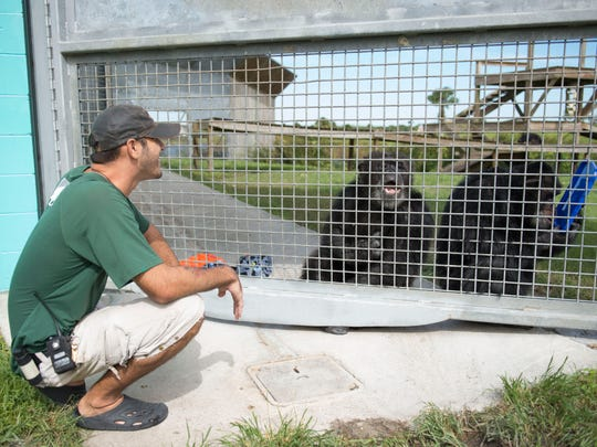 """""""Working here is like having a second family,"""" said Greg Perez, a chimpanzee care technician, on Wednesday at Save the Chimps in Fort Pierce. """"It's definitely better than anything I've done before, I love it."""" A typical day for Perez includes feeding chimpanzees, cleaning their area and playing with them, including enrichment activities like painting or playing the ukulele for 11-year-old Lisa Marie, who he calls his """"princess."""""""