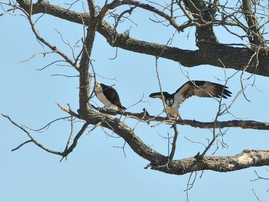 sby osprey.jpg