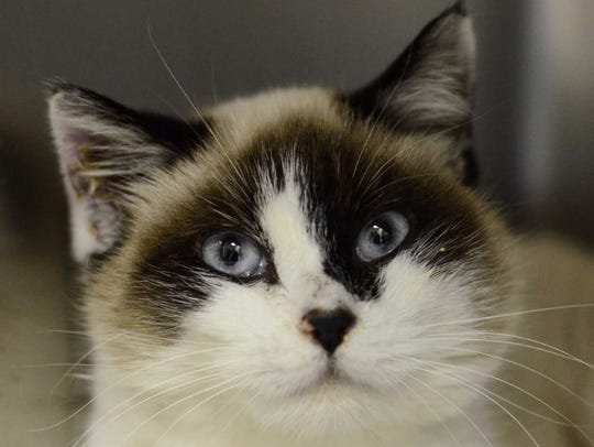 Chelsy - Female snowshoe mix, adult. Intake date: 10/23/2017