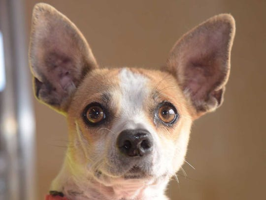 Dinah - Female Chihuahua mix, adult. Intake date: 10/31/2017